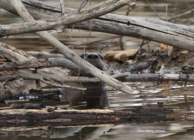 This industrious otter made a rare appearance near the  Inglewood Bird Sanctuary.