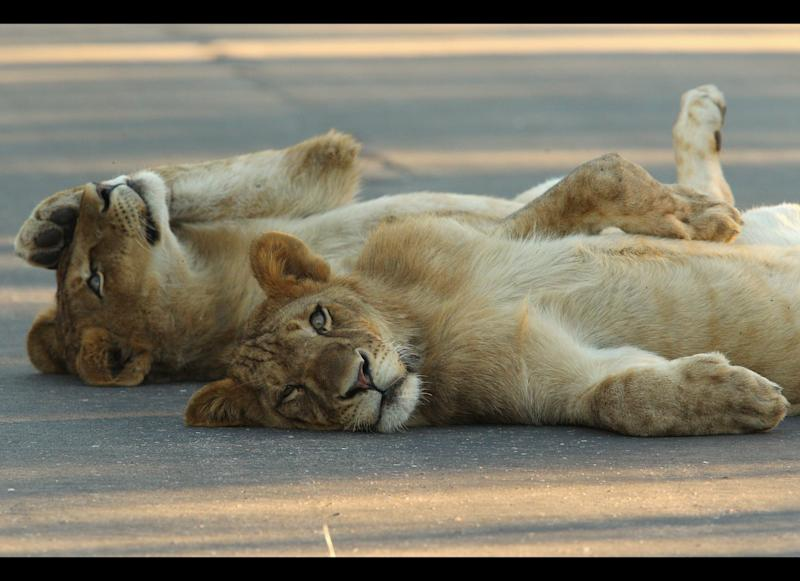 Young male lions relax on a road in Pafuri. <em>Photo by Cameron Spencer/Getty Images</em>