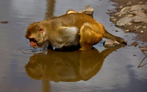A monkey drinks from a puddle on Cayo Santiago - Credit: Ramon Espinosa AP