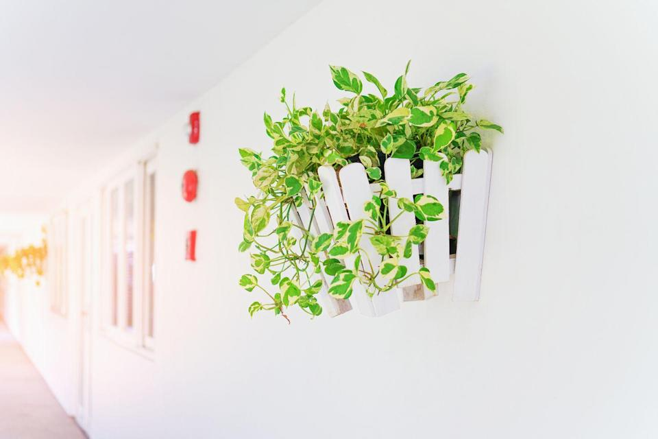 <p>This easy-to-grow foliage plant works well indoors and can survive in darker, low-light interiors. Plus, pothos even works to purify the air inside your home, absorbing and removing certain chemicals and toxins. </p><p><strong>Zones: 10-12</strong></p>