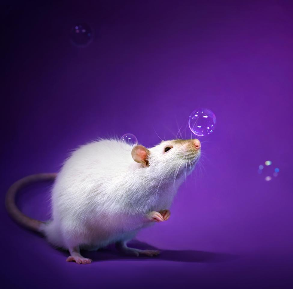 <p>The idea stemmed from fostering abused and abandoned rats, Diane said. In order to get them adopted, she had to shoot cute pictures to make them more appealing to wannabe pet owners. (Diane Ozdamar/Caters News) </p>