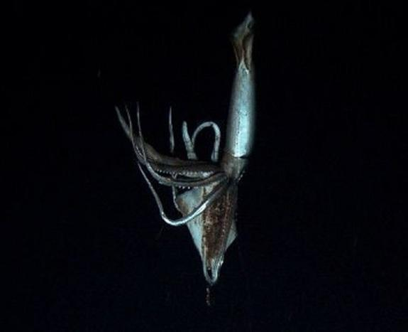 The 10-foot (3-meter) squid was filmed off the coast of Japan.