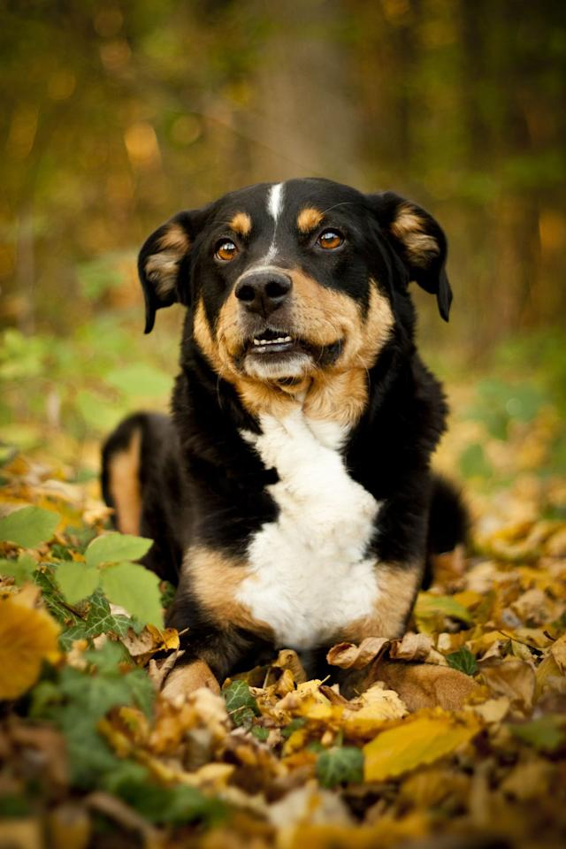 <p>Though smaller than some of the other guard dogs, Appenzeller Sennenhunds still make a great pick due to their agility and energy. They were originally farm dogs, so their intelligence and obedience will impress your whole family.</p>