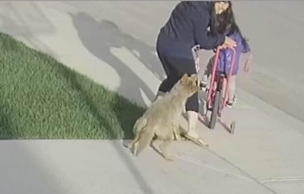 Surveillance video shows a coyote attack a woman in northwest Calgary in one of three recent incidents believed to be linked to one aggressive animal. (Nicole Au - image credit)