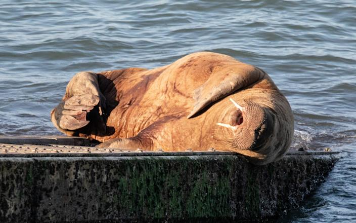 Wally Walrus sunbathing on the slipway of a Tenby lifeboat in Pembrokeshire-Joann Randles / Cover-Images.com / Cover Images
