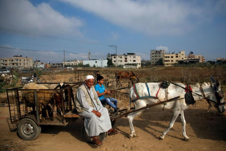 Palestinians return home with livestock from a market in Gaza City as Muslims prepare for Eid al-Adha holidays
