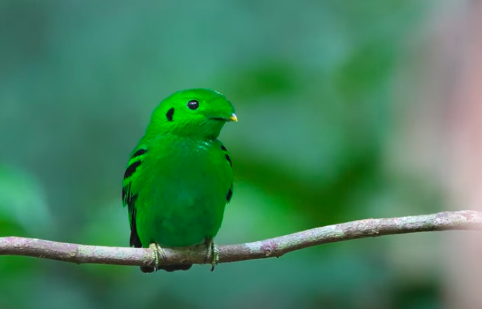 The bird, known for its highlighter-green plumage, was spotted on 27 June ( liewwk Nature)