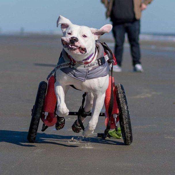 PHOTO: Pigeon was in a car accident that paralyzed her back legs, but her unbridled joy running with and without her wheelchair has made her story go viral. (Instagram: Pigeonpup)