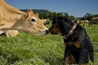 In a field full of cows, it seems this pup has literally marked his best friend.