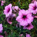 """<p>These trumpet-shaped flowers are popular to plant in flowerbeds. They come in a variety of colors, and they're easy to grow.</p><p><strong>Bloom seasons</strong>: Spring, fall, and summer</p><p><a class=""""link rapid-noclick-resp"""" href=""""https://go.redirectingat.com?id=74968X1596630&url=https%3A%2F%2Fwww.homedepot.com%2Fp%2FPROVEN-WINNERS-4-Pack-4-25-in-Grande-Supertunia-Vista-Bubblegum-Petunia-Live-Plant-Bubblegum-Pink-Flowers-SUPPRW4007524%2F301388687&sref=https%3A%2F%2Fwww.countryliving.com%2Fgardening%2Fg36596951%2Fbeautiful-flower-images%2F"""" rel=""""nofollow noopener"""" target=""""_blank"""" data-ylk=""""slk:SHOP PETUNIAS"""">SHOP PETUNIAS</a></p>"""