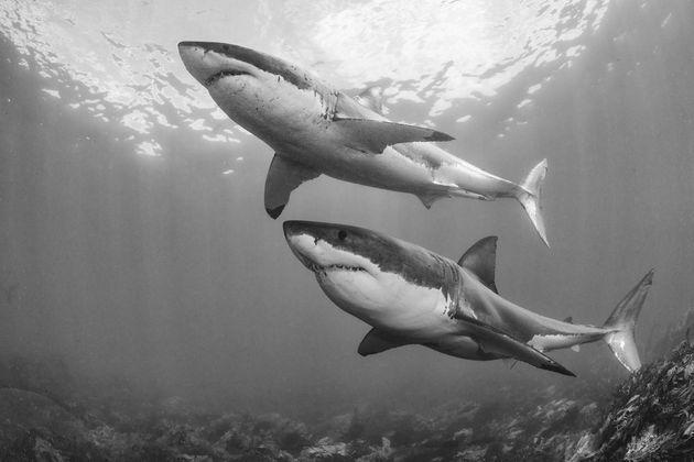 <p>L'envol des grands requins blancs, par&nbsp;Chris Fallows.</p>