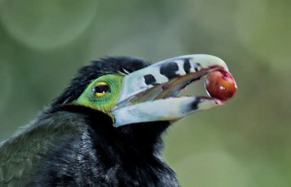 A toucanet eats a palm fruit in Brazil's Atlantic forest. Toucanets, like toucans and other large birds, disperse big seeds over wide distances.