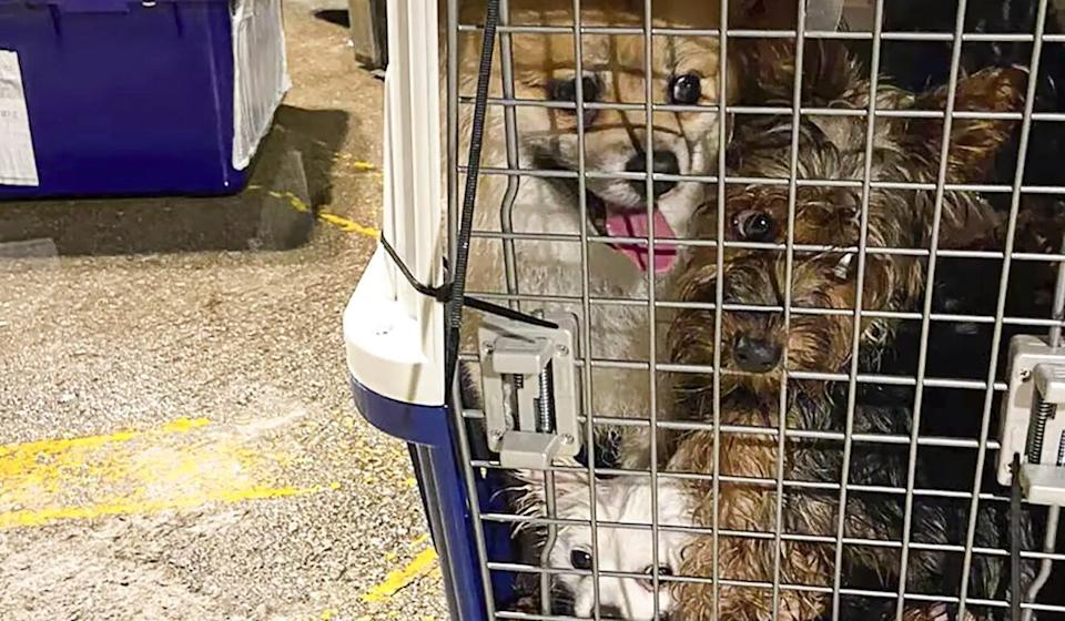 Four microchipped dogs were seized during an anti-smuggling operation in August. Photo: Handout