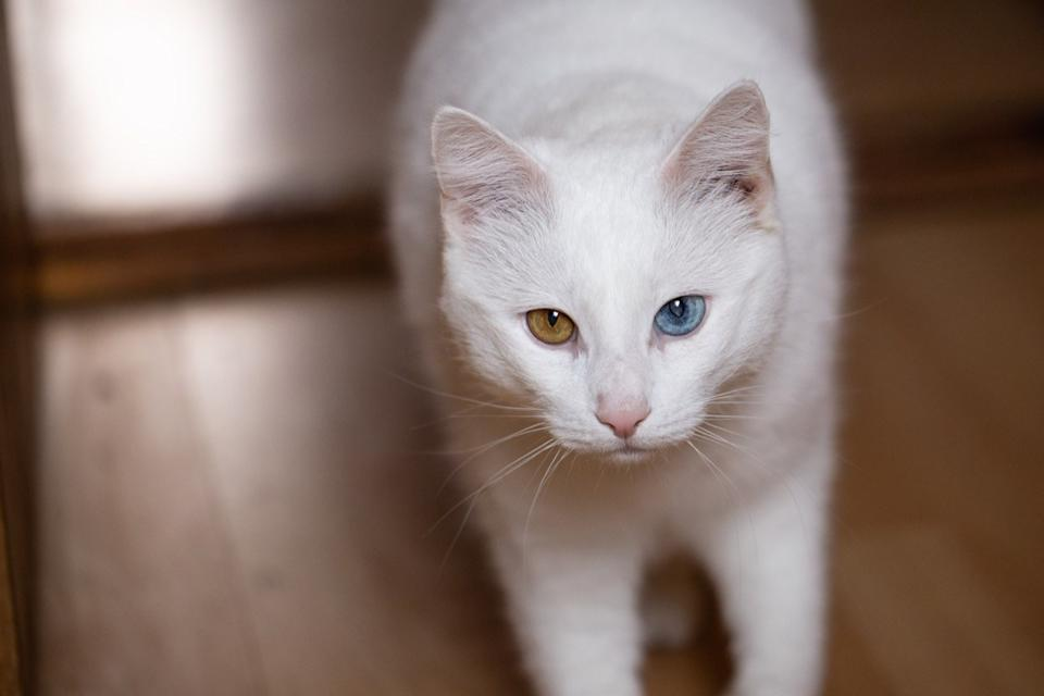 Cat with different-colored eyes