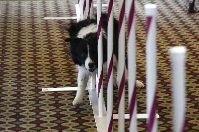 Lynus, a Border Collie breed, makes its way through an agility course during a press conference for the upcoming 139th Annual Westminster Kennel Club Dog Show in New York January 21, 2015. REUTERS/Shannon Stapleton (UNITED STATES - Tags: ANIMALS SOCIETY)