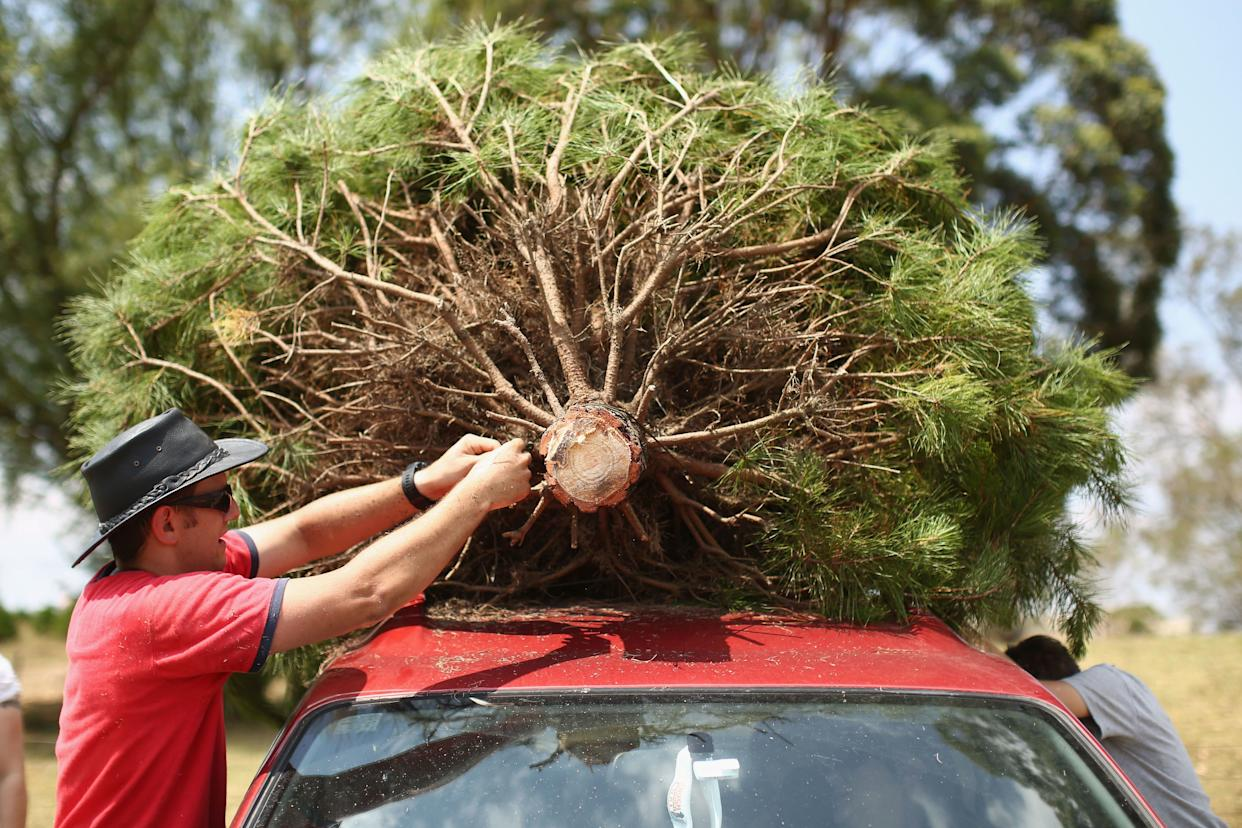 "Minimize the number of miles driven to get your Christmas tree. Research shows that driving to get your tree often has <a href=""http://msue.anr.msu.edu/news/environmental_effects_of_christmas_trees"" rel=""nofollow noopener"" target=""_blank"" data-ylk=""slk:more environmental impact"" class=""link rapid-noclick-resp"">more environmental impact</a>&nbsp;than the tree itself.&nbsp;<br><br>&ldquo;If you pick up a real tree close to your home or pick it up on a trip you were going to make anyway, the impact of the real tree is almost nil,&rdquo; Bert Cregg,&nbsp;a horticulture expert at Michigan State University, told HuffPost.<br><br>Buying local also means supporting&nbsp;your community's growers and businesses, as well as preserving local farmland.<br><br>The&nbsp;<a href=""http://www.christmas-tree.com/real/"" rel=""nofollow noopener"" target=""_blank"" data-ylk=""slk:Christmas Tree Farm Network"" class=""link rapid-noclick-resp"">Christmas Tree Farm Network</a> maintains a comprehensive list of&nbsp;farms in the U.S., organized&nbsp;by state."