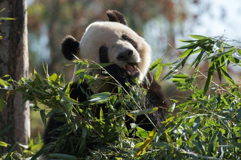 Pandas have a notoriously low reproductive rate and are under pressure from factors such as habitat loss