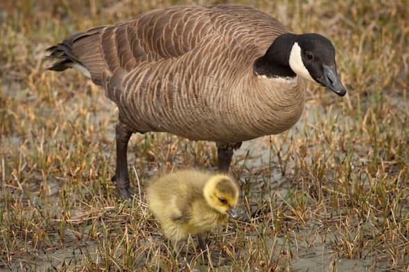 A mother Canada goose watches over her gosling near a pond in Anchorage, Southcentral Alaska, Summer