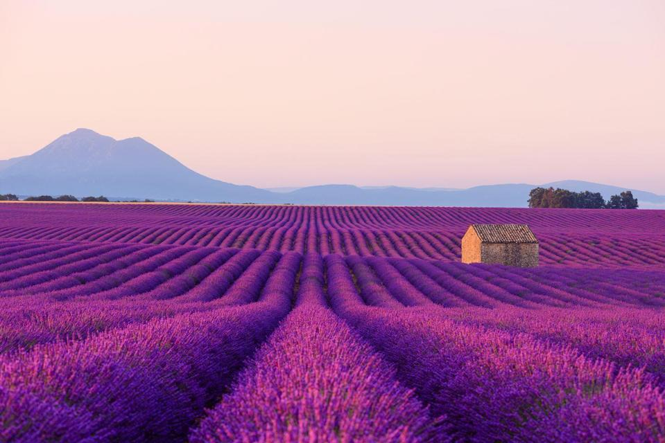<p>The endless sea of fragrant lavender dotting across the French countryside has been inspiring artists and travelers for centuries. The rolling purple hills serve as the backdrop to countless quaint villages and world-renowned vineyards in the Provence region. Many local distilleries and shops rely on the blooms to create essential oils and soaps. The ideal time to see the lavender fields in full bloom are July and August. </p>