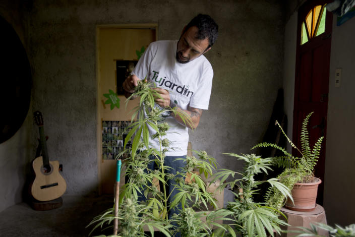 Marcelo Vazquez, a marijuana grower, checks the leaves of his marijuana plants for fungus, on the outskirts of Montevideo, Uruguay, Monday, Dec. 9, 2013. The Uruguayan Senate is expected to approve a law to legalize the production, distribution and sale of marijuana Tuesday. If approved, Uruguay would be the first country to regulate the marijuana market from production to retail. (AP Photo/Matilde Campodonico)