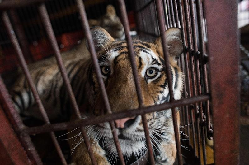 Approved with support from left-wing and right-wing lawmakers, the law brings Portugal in line with dozens of other countries to ban wild animals in circus acts (AFP Photo/NICOLAS ASFOURI)