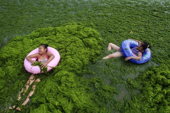 Children play in seawater covered by a thick layer of green algae at a beach on July 17, 2011 in Qingdao, Shandong Province of China. A large area of green seaweed called enteromorpha prolifera, has approached the Qingdao coast. The algae, is non-poisonous and harmless for water quality but may threaten marine life and coastline tourism.  (Photo by ChinaFotoPress/Getty Images)