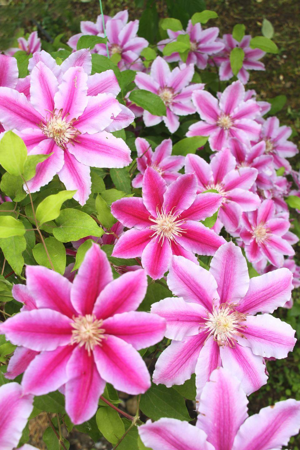 """<p>Many different kinds of clematis are available; some bloom in spring, some in the fall. And some types bloom all season long. The flowers come in every color from palest pink to deep purple. They like their heads in full sun but prefer their roots to be shaded, so plant other perennials at their base to help shelter the roots.</p><p><a class=""""link rapid-noclick-resp"""" href=""""https://www.amazon.com/Summer-Clematis-Red-Purple-Flowers-Gallon/dp/B01BXXW1OA/ref=sr_1_2?dchild=1&keywords=clematis&qid=1597428607&s=lawn-garden&sr=1-2&tag=syn-yahoo-20&ascsubtag=%5Bartid%7C10050.g.1456%5Bsrc%7Cyahoo-us"""" rel=""""nofollow noopener"""" target=""""_blank"""" data-ylk=""""slk:SHOP CLEMATIS"""">SHOP CLEMATIS</a></p>"""