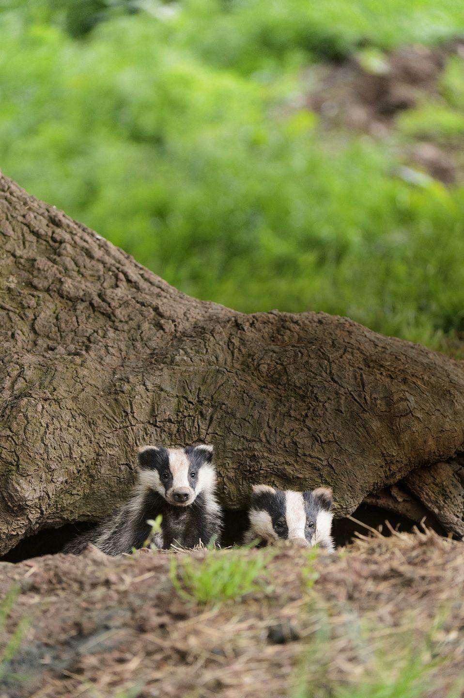 <p>Deep beneath the forest floor, badgers (Meles meles) build burrows featuring a sophisticated system of tunnels and chambers. Prepping for parenthood, expectant sows add nursery nooks at the beginning of the year – using grass, moss and bracken for bedding. Born with their eyes closed, babies begin to open them aged five weeks old, at which point they start to survey the sett and the area around it (sticking closely to their mother's side for safety). Learning to feed and forage might be serious business, but cubs still make plenty of time for play, tearing around tree trunks for a game of chase with their siblings.</p>