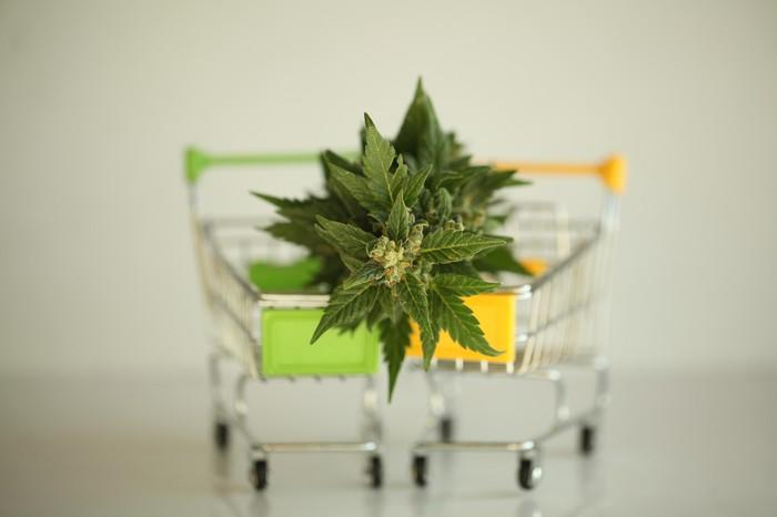 Two shopping carts with a cannabis plant in front of them
