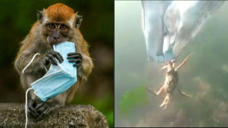 From macaques to crabs, wildlife faces threat from masks