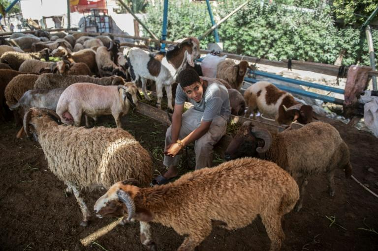 An Egyptian vendor sits with sheep as he waits for customers at a market in Cairo ahead of the annual Muslim Eid al-Adha holiday