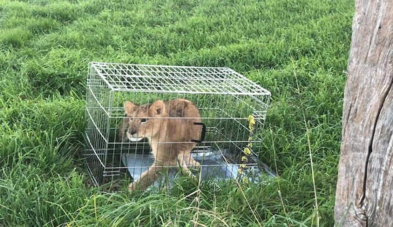 In this image released by the Dutch Police on Monday Oct. 8, 2018, an abandoned lion cub is caged after being found in a field, near Tienhoven, Netherlands. A jogger's run through the Dutch countryside turned into a walk on the wild side when he discovered a lion cub in a field. Police say the young cub was found Sunday in a cage dumped in a field near Tienhoven between the central cities of Utrecht and Hilversum. Police have taken to Twitter to appeal for help in tracing the animal's owner, while the young cub, a male believed to be about five months old, is being cared for by a foundation that looks after big cats. (Dutch Police via AP)