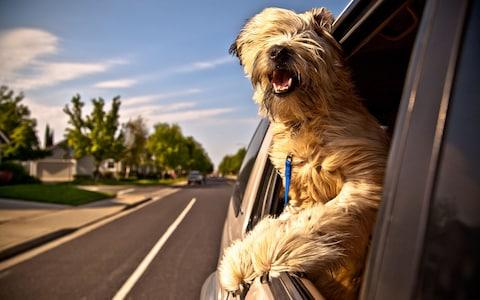 dog hanging out of car - Credit: Andrew Austin/Alamy
