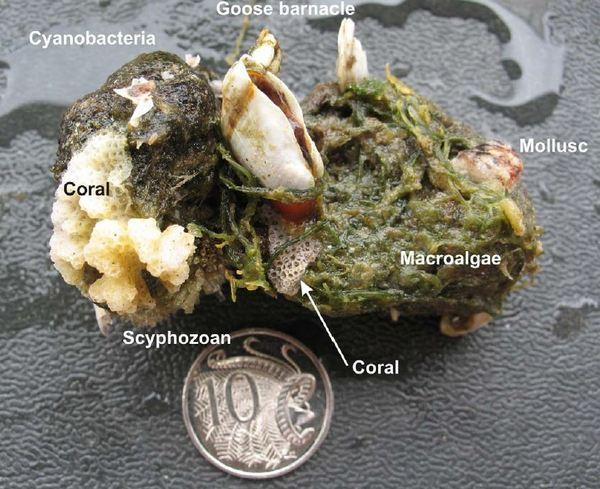A piece of pumice colonized by coral and other organisms, with an Australian coin for reference.
