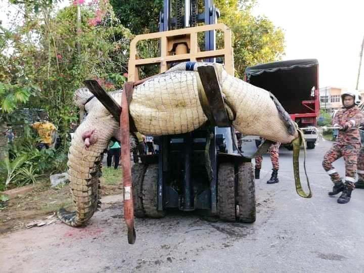 Fire and Rescue Officers in Limbang City hauled out the 800kg croc using a forklift truck. Source: Australscope