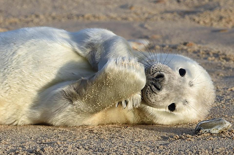 <p>A grey seal pup on the beach at Horsey Gap, near Great Yarmouth, in Norfolk. (PA) </p>