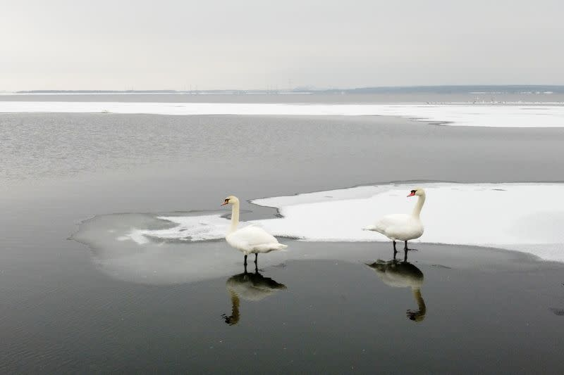 Swans stand on ice near the bank of a water reservoir outside Ostroh
