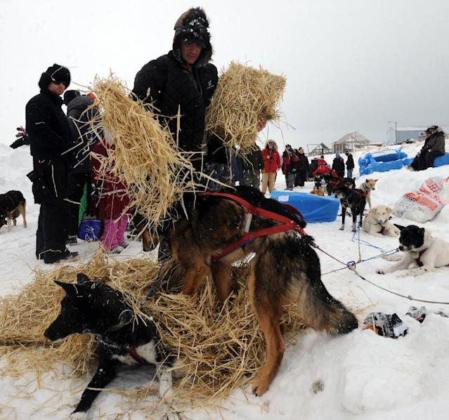 Ray Redington, Jr., gives his dogs straw to bed down in Unalakleet on Sunday, March 10, 2013, during the Iditarod Trail Sled Dog Race. (AP Photo/Anchorage Daily News, Bill Roth)