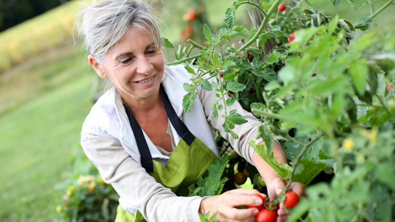 Mature woman pruning tomatoes in garden