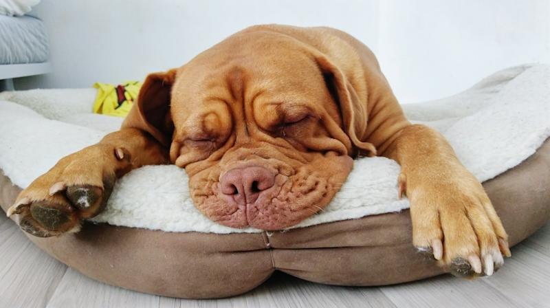 A photo of a Brown Dog Sleeping In Pet Bed At Home