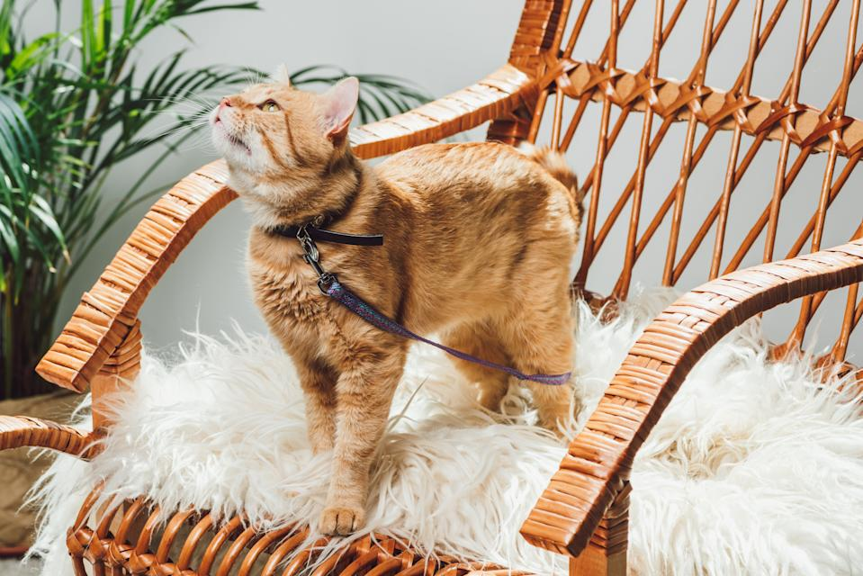 cute domestic ginger cat with leash standing on rocking chair in living room