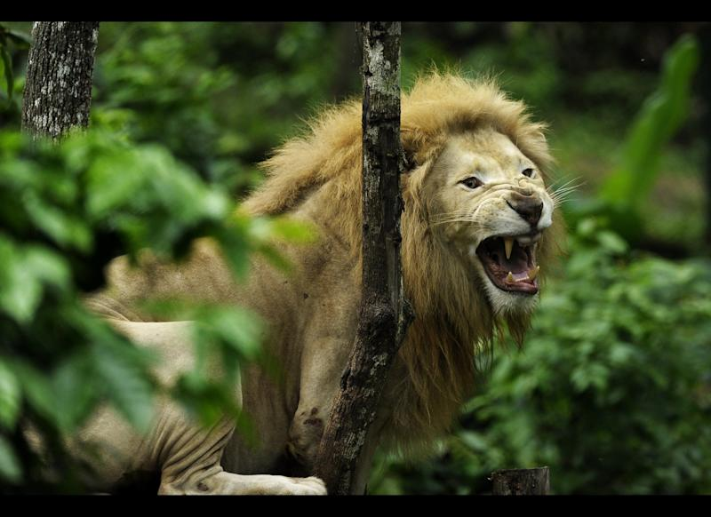Tembo, a white lion, roars in the FURESA park zoo in the town of Jayaque, 40 km west of San Salvador on June 8, 2012. The Wild Reserve Foundation (FURESA) built a zoo park in a former coffee plantation. AFP PHOTO/Jose CABEZAS (Photo credit should read Jose CABEZAS/AFP/GettyImages)