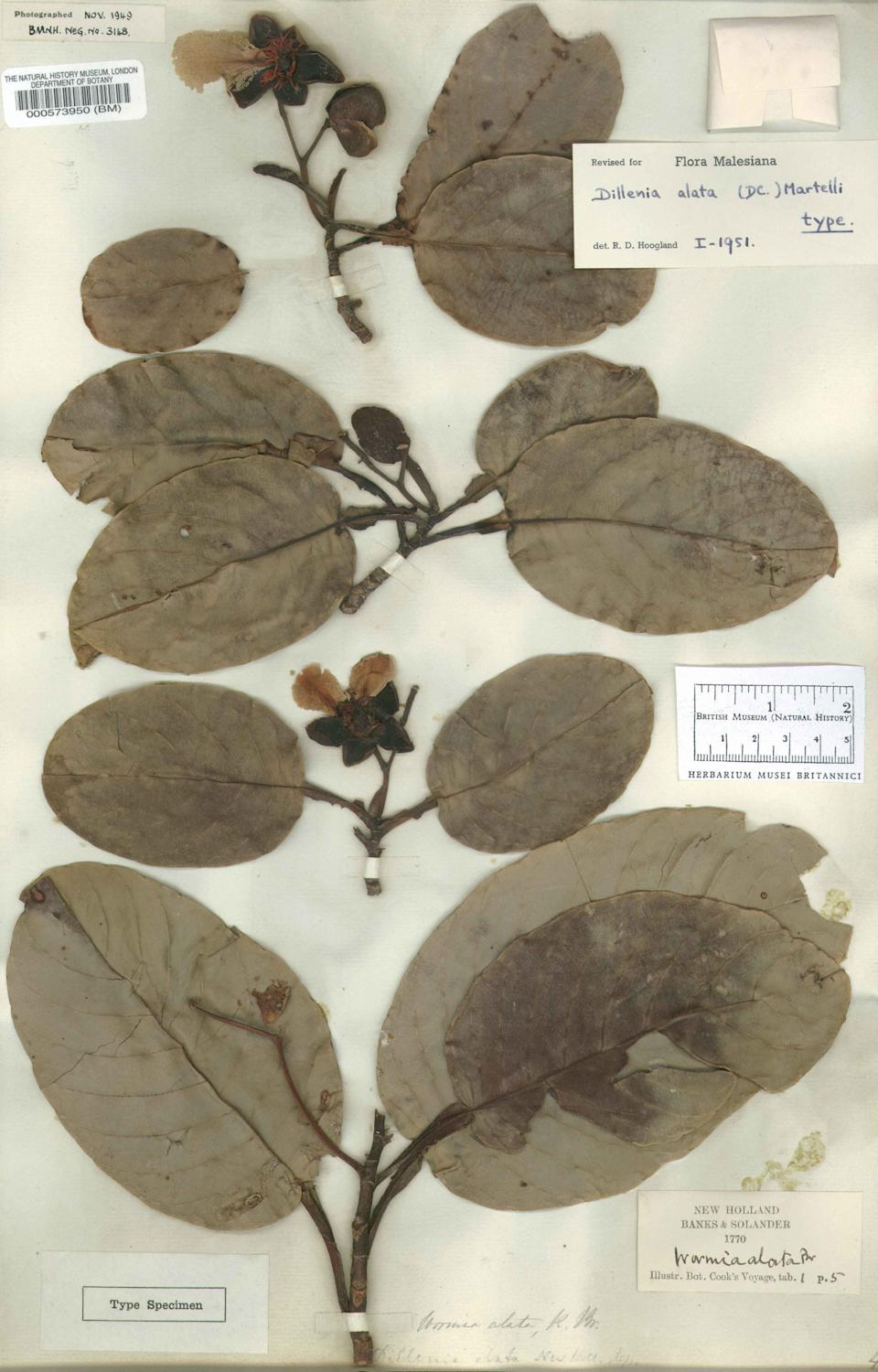 Joseph Banks's herbarium sheet – plants collected by pioneering scientist Joseph Banks on Captain Cook's first voyage to Australia in 1770. Banks's global interests were reflected in the enormous natural history, ethnography and literature collections he amassed in his lifetime. (Natural History Museum)