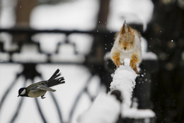 <p>A tomtit bird flies past a squirrel running on a fence after a snowfall in a park in Almaty, Kazakhstan, January 12, 2016. (REUTERS/Shamil Zhumatov) </p>