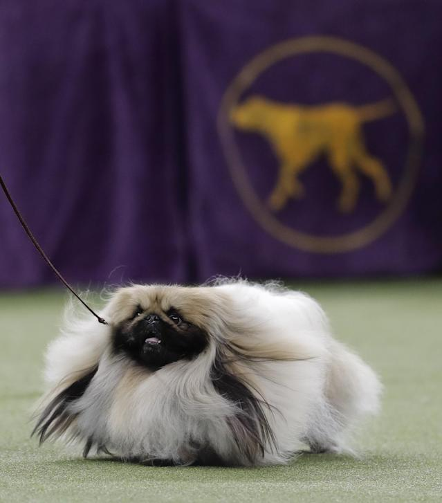 <p>Chuckie, a Pekingese, walks behind his handler during the Best in Show competition at the 141st Westminster Kennel Club Dog Show, Tuesday, Feb. 14, 2017, in New York. (AP Photo/Julie Jacobson) </p>