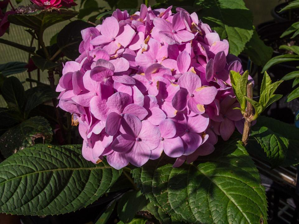 """<p>The """"Twist and Shout"""" variety has two kinds of blooms on one flower head, giving the blossom a lacy feel, says Yost. """"A variety of the '<a href=""""https://www.marthastewart.com/7781905/endless-summer-hydrangea"""" rel=""""nofollow noopener"""" target=""""_blank"""" data-ylk=""""slk:Endless Summer'"""" class=""""link rapid-noclick-resp"""">Endless Summer'</a> collection that blooms twice per season,"""" she says of this bloom. The mix of larger and smaller blooms are what make this variety truly unique. Plant this rare gem in an area where it will receive partial shade throughout the day; native to Japan, they prefer USDA Hardiness Zones four through nine.</p>"""