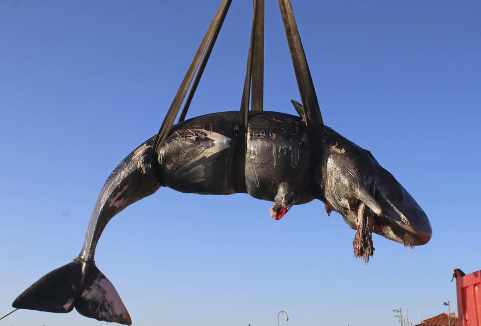 A dead sperm whale is lifted up onto a truck after being recovered off Sardinia island, Italy, with 22 kilograms of plastic in its belly. Source: SEAME Sardinia Onlus via AP