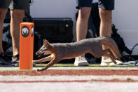 A fox runs past a Cotton Bowl pylon during the first half of an NCAA college football game between Texas and Oklahoma at the Cotton Bowl, Saturday, Oct. 9, 2021, in Dallas. (AP Photo/Jeffrey McWhorter)