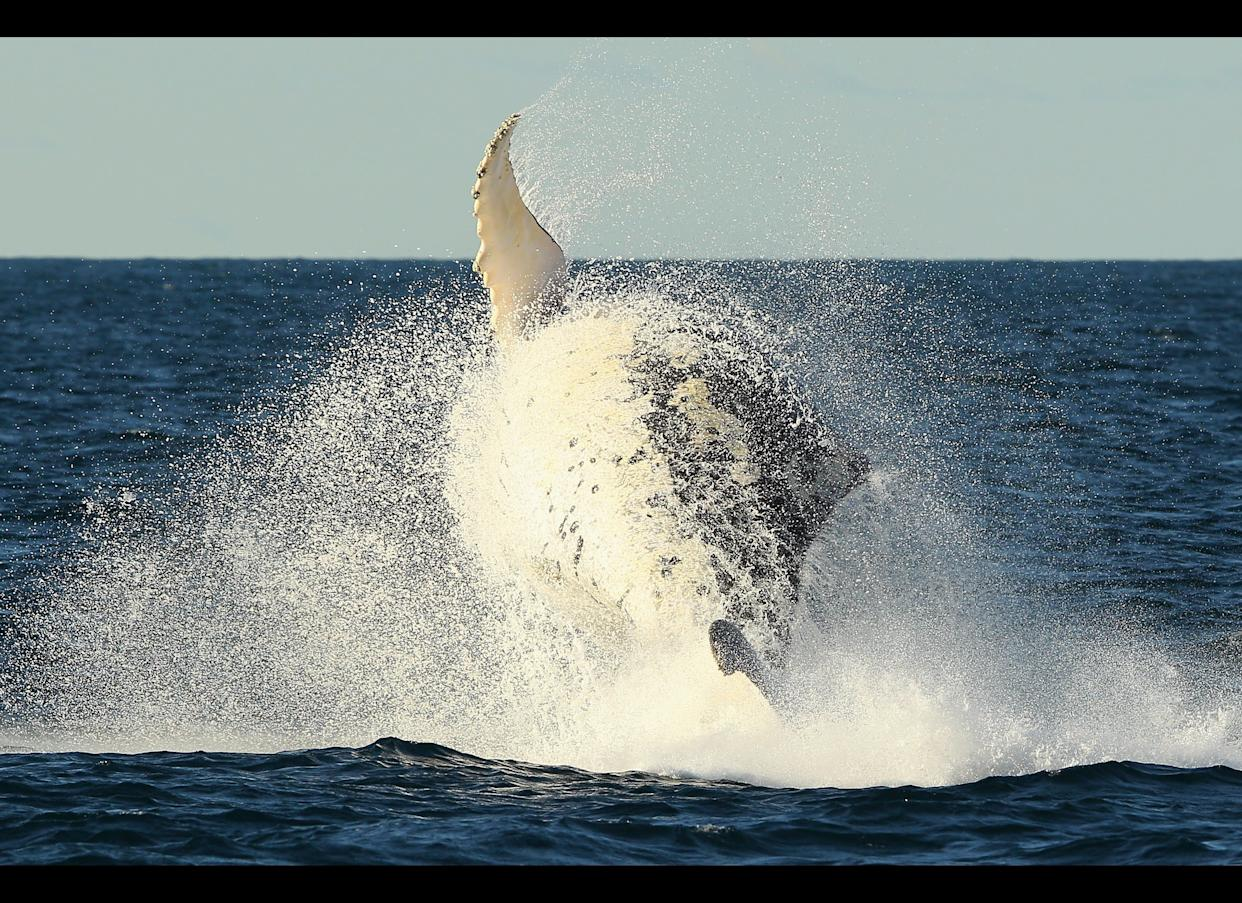 A humpback whale is seen breaching outside of Sydney Heads at the beginning of whale watching season during a Manly Whale Watching tour on June 23, 2011 in Sydney, Australia.