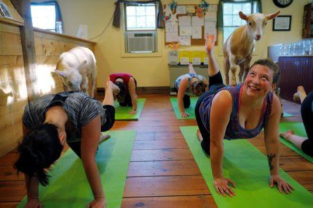 Goats climb on students during a yoga class at Jenness Farm in Nottingham